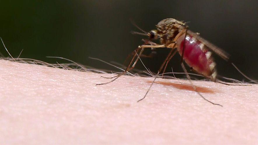 Veja como mosquitos roubam seu sangue sorrateiramente