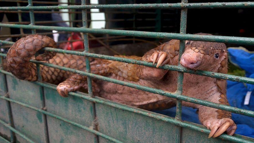 101 pangolins são resgatados na Indonésia
