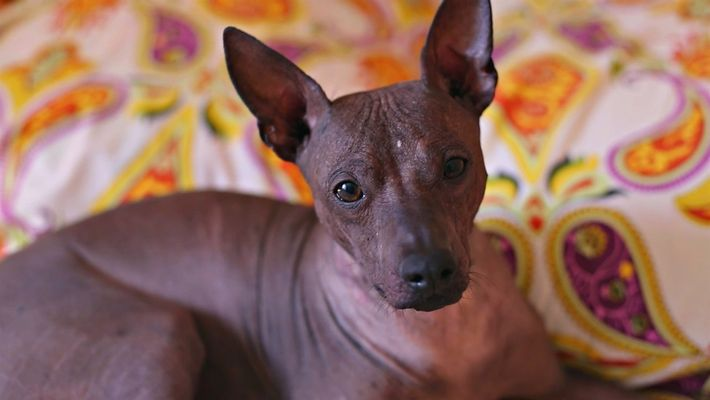 A história desta raça de cachorro sem pelos passa por maias, aztecas e outras culturas ancestrais