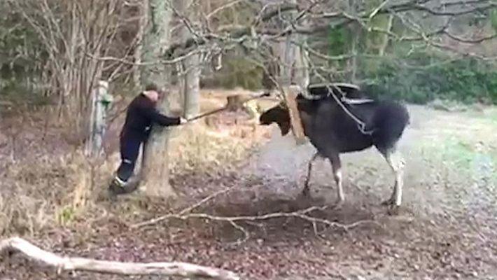 Alce preso em balanço de árvore é libertado com ajuda de uma serra