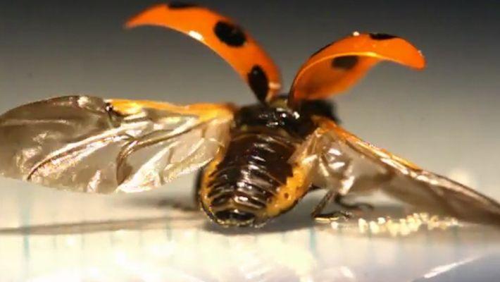 Como funcionam as asas das joaninhas