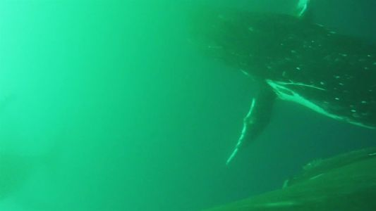 Primeiro registro em vídeo de baleias movimentando-se como pássaros