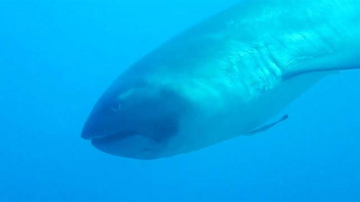 Raríssimo tubarão-boca-grande descoberto na costa da Indonésia