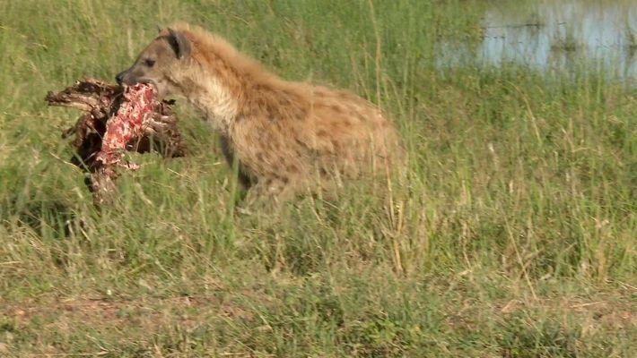 Hienas fuçam restos de comida de leão e despertam sua ira