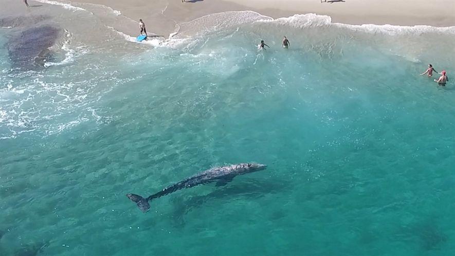 Imagens aéreas mostram baleia-cinzenta nadando com banhistas