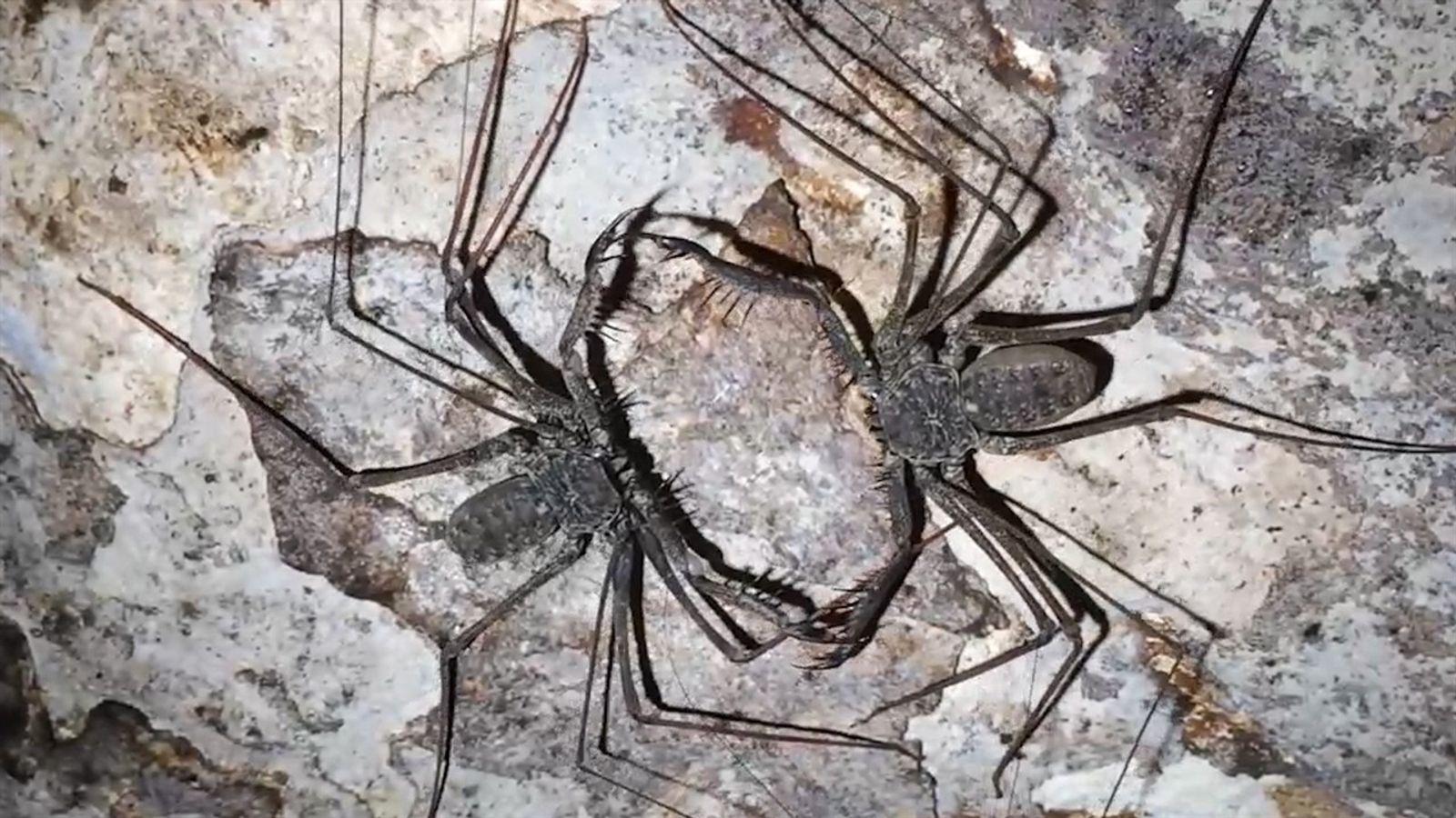 Veja dois aracnídeos canibais se enfrentando em uma batalha mortal por comida