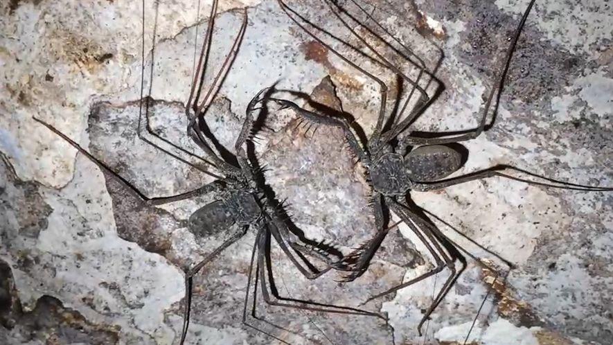 Nem aranha nem escorpião, este aracnídeo é briguento e canibal