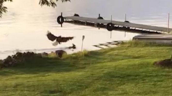 Veja águia-americana afogar filhote de cervo desprevenido