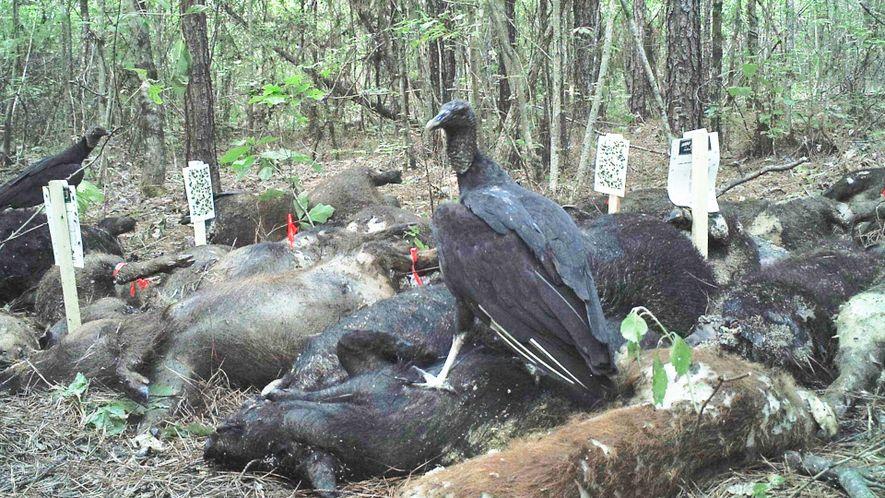 Veja o que acontece quando 3 toneladas de carcaça de porcos são deixadas na floresta.