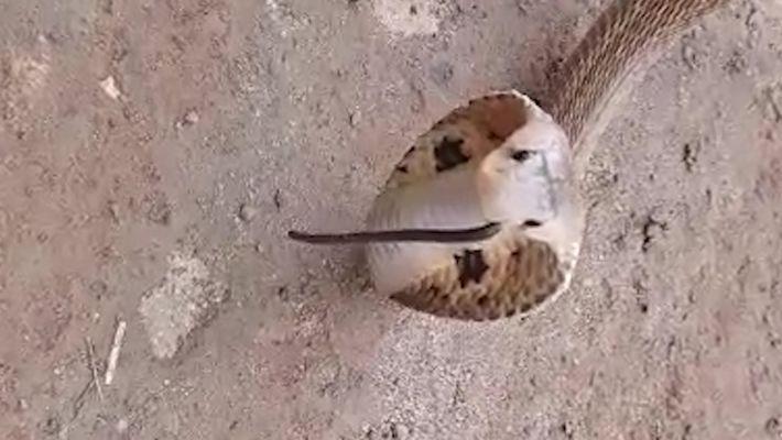 Cobra entra no nariz de outra cobra