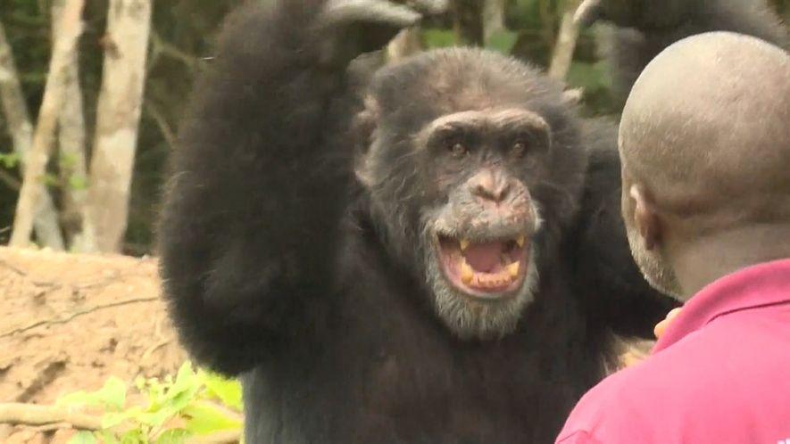 O chimpanzé Ponso é o último sobrevivente de sua colônia na Costa do Marfim