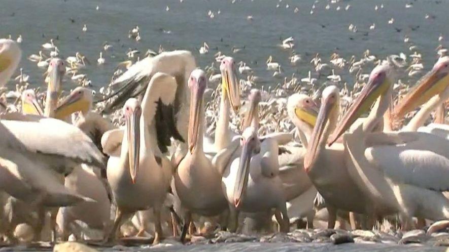 50 mil pelicanos aterrissam em Israel para um almoço grátis
