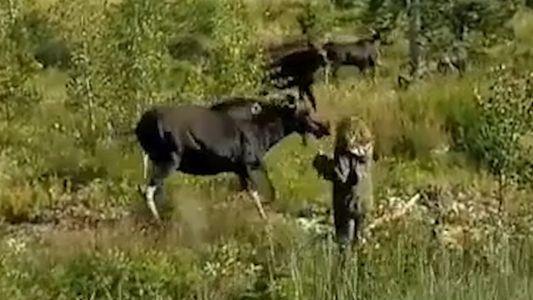 Alce ataca mulher para proteger seus filhotes