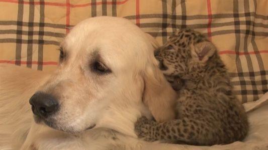Cadela salva filhote de leopardo-de-amur, o felino mais raro do mundo