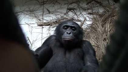 Empatia animal: Macacos bonobos ajudam estranhos