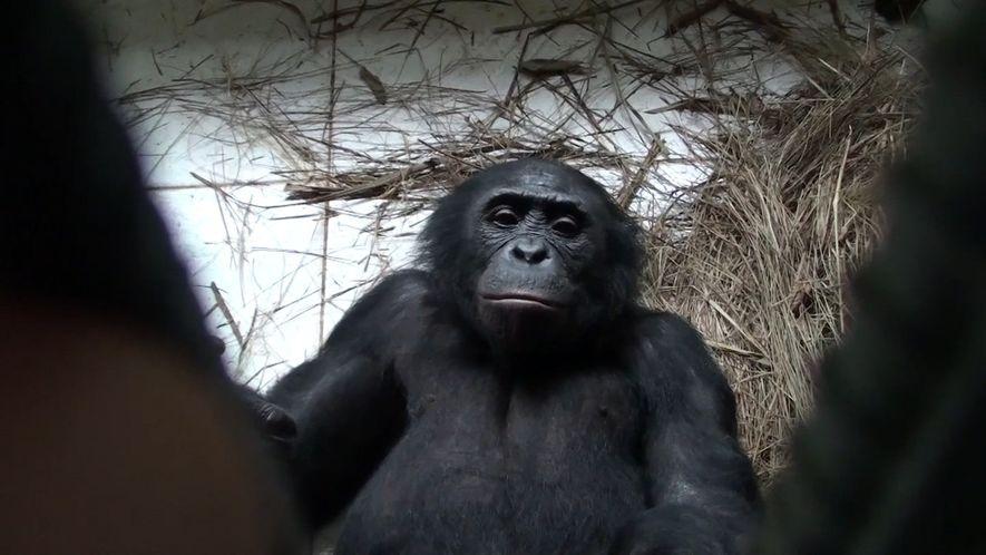 Bonobos ajudam estranhos