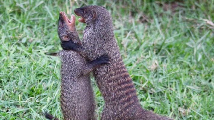 Assista a mamães mangustos lutarem pela vida de seus filhotes