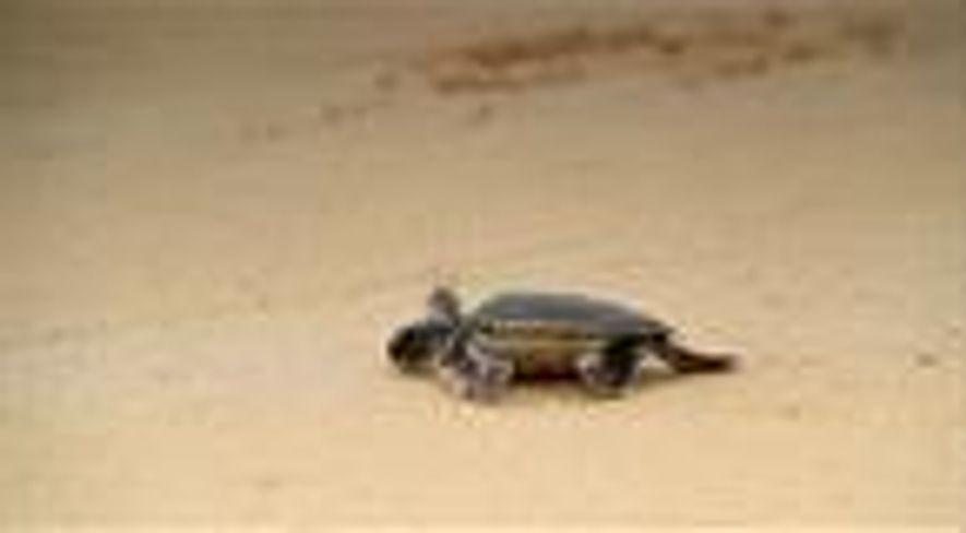 Temperaturas elevadas transformam tartarugas-verdes em fêmeas