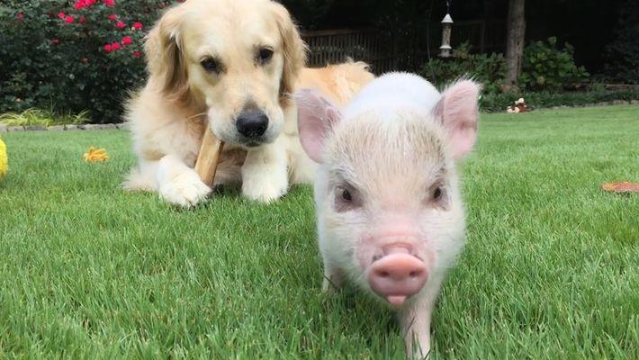 A balada de amor de Luna, a porca, e Nuvem, o cão