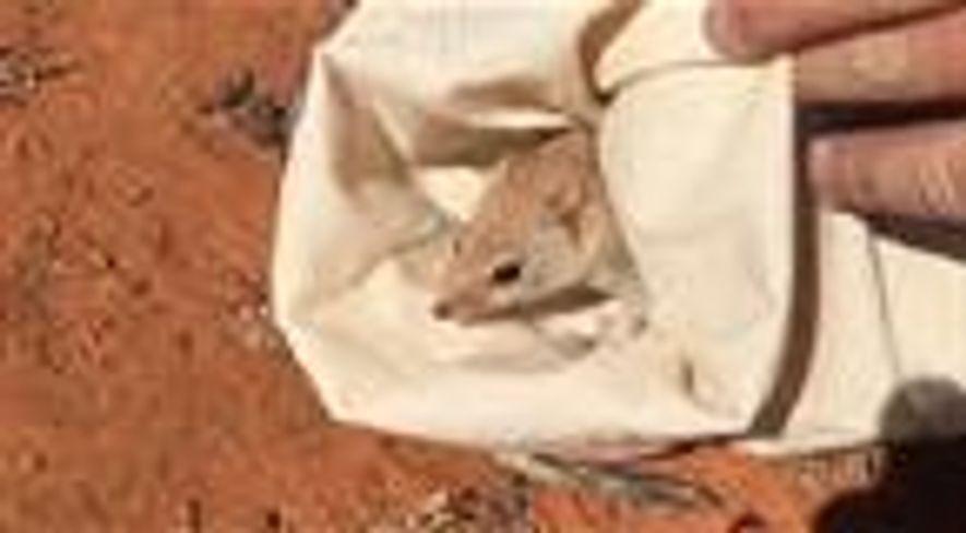 Marsupial australiano extinto é redescoberto