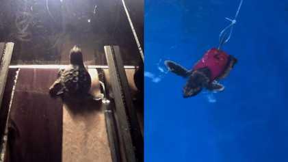 Cientistas colocam filhotes de tartaruga-marinha em esteiras – veja por quê