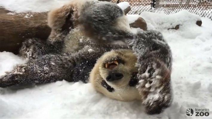 Pandas brincalhões se divertem na neve