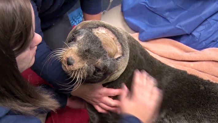 Lobo-marinho com convulsões passa por cirugia inédita