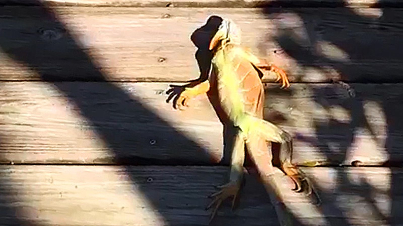 Iguana congelado cai de árvore em flórida