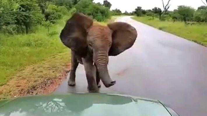 Elefante brincalhão avança em direção a carros