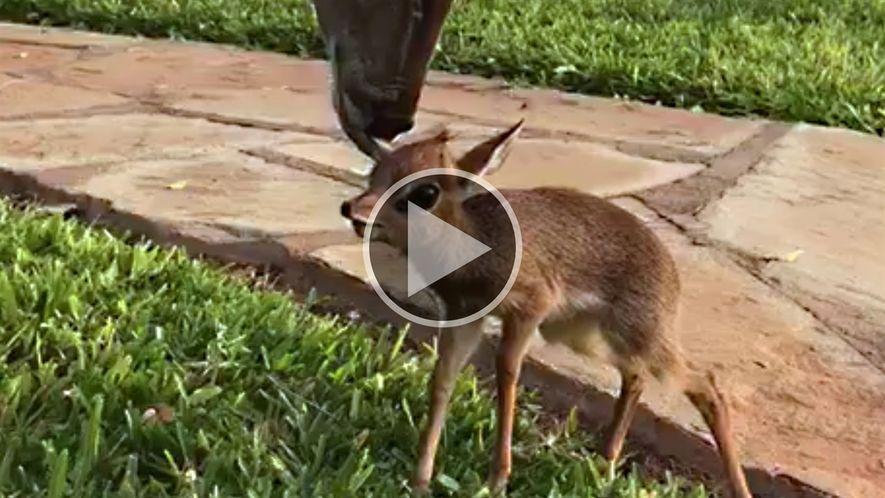 Antílope pequeno faz amizade com parente distante