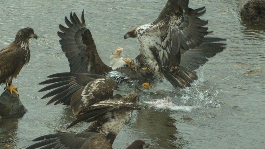 Brigas entre águias em câmera lenta