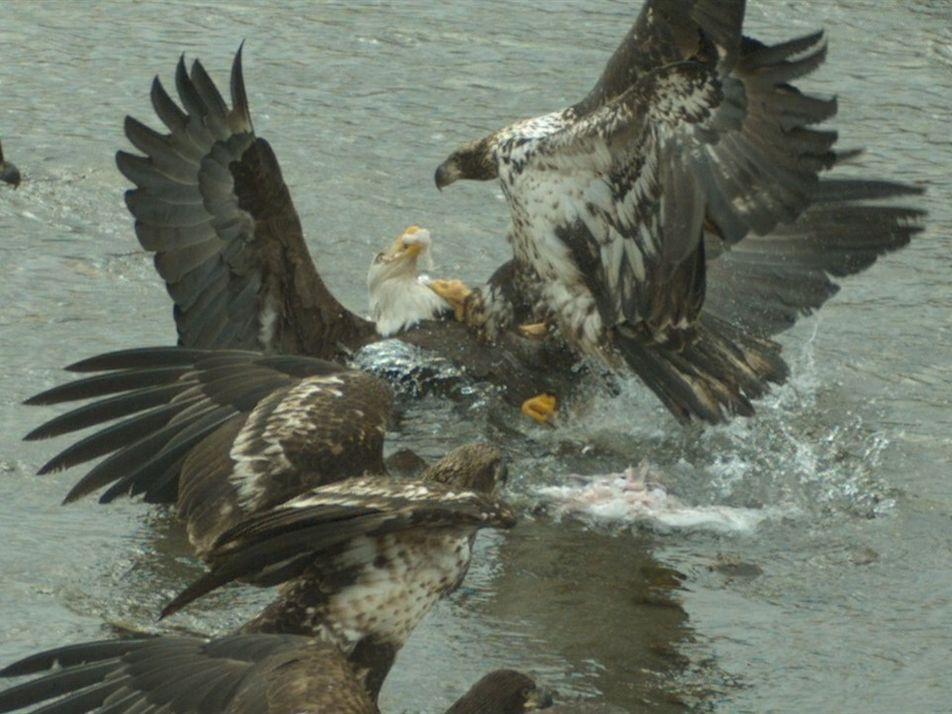 Em câmera lenta: águias-de-cabeça-branca lutam por comida e locais de caça