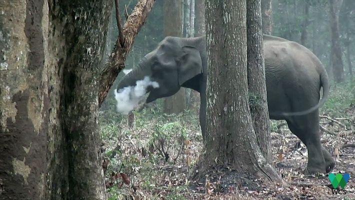 Por que este elefante está assoprando fumaça?