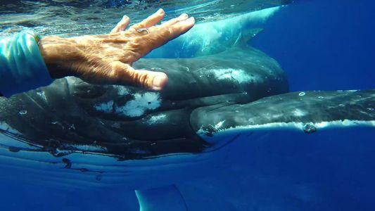 Baleia supostamente protege mergulhadora de tubarão