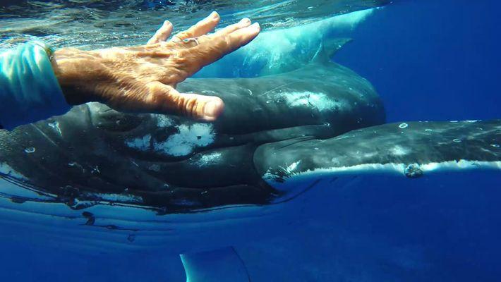 Esta baleia tentou salvar a vida da mergulhadora?