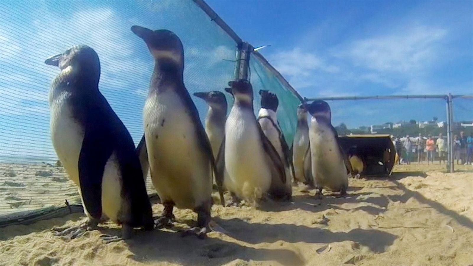 Veja pinguins resgatados cambalearem rumo à liberdade