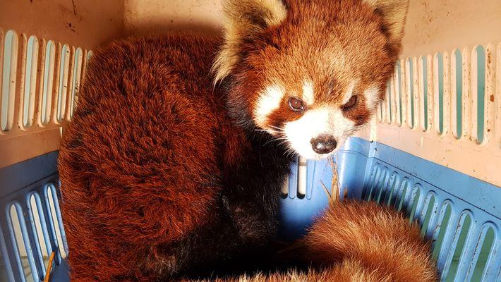 Pandas-vermelhos são resgatados antes de serem vendidos como animais de estimação