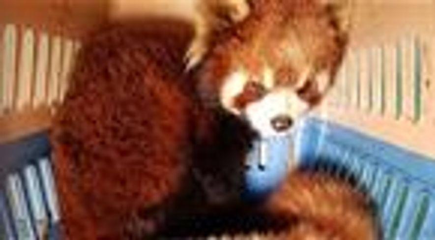 Tráfico de Pandas Vermelhos