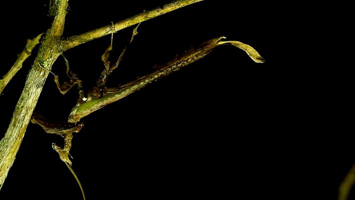 Conheça o incrível louva-a-deus dragão brasileiro