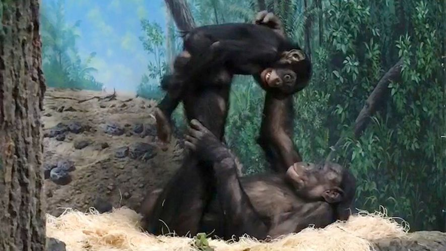Macacos também brincam