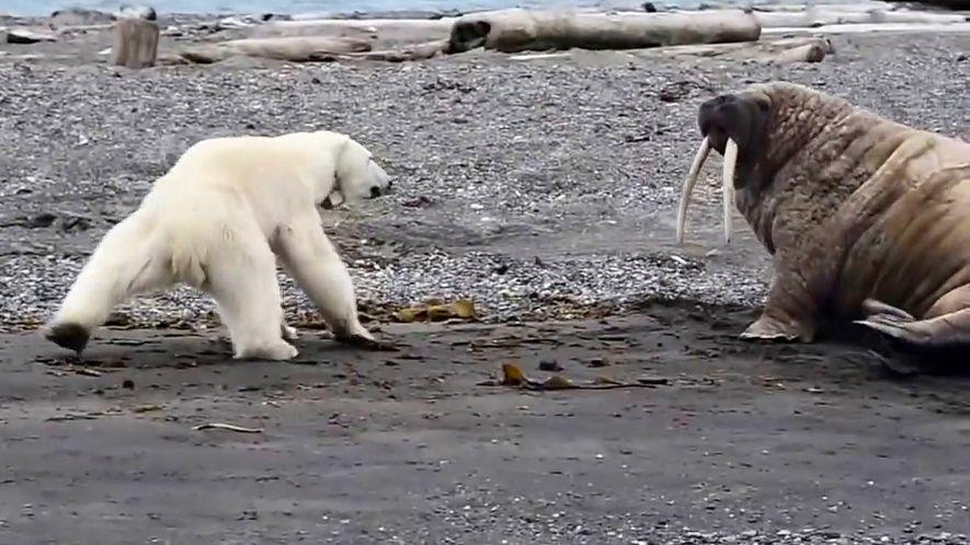 Desesperada para alimentar o filhote, mãe urso-polar provoca morsa