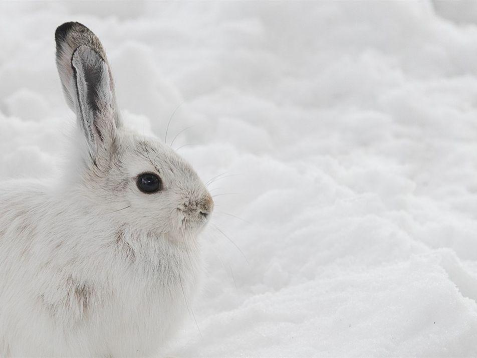 Como animais que trocam de cor se rebelam contra mudanças climáticas