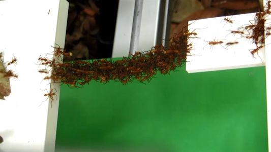 Estas formigas constroem pontes sustentadas pelos próprios corpos