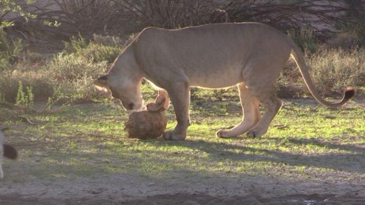 Tartaruga tenta escapar de ataque de leoas