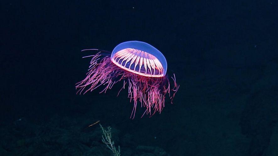 Água-viva encantadora é vista em imagens raras
