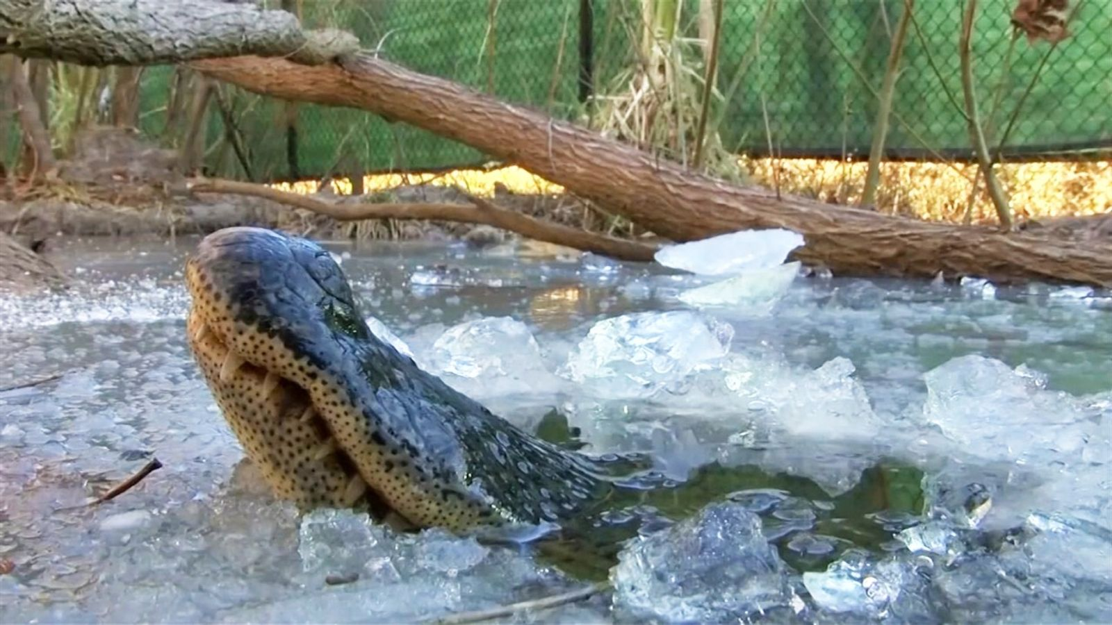 Jacarés 'congelados' respiram através do gelo para sobreviver