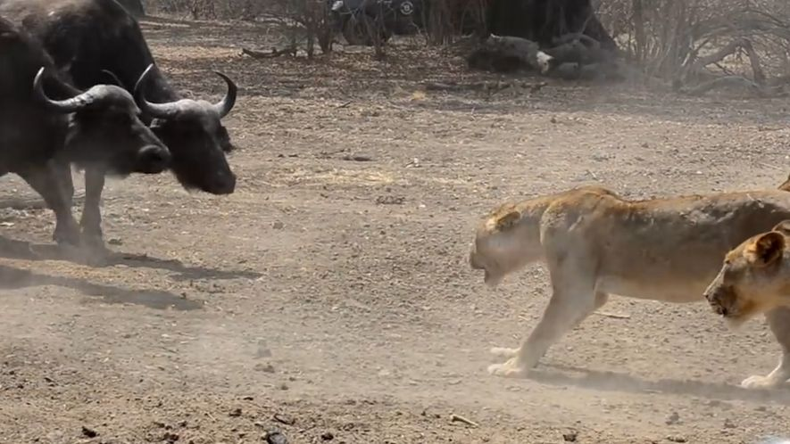 Bando de leões x 500 búfalos – quem vencerá a batalha?