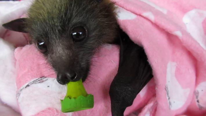 Conheça o trabalho desta australiana que salva até 400 morcegos por ano
