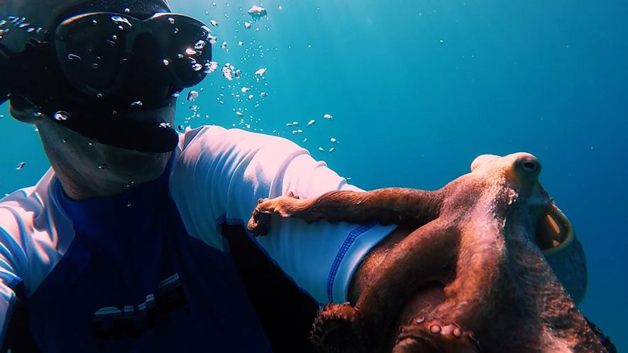 Polvo pega carona e se camufla em braço de mergulhador
