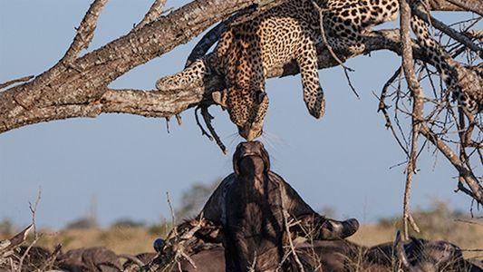 Búfalo e leopardo se beijam em raro momento capturado em vídeo